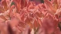 Цветочные истории 1 сезон Рододендрон