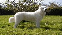 Маремо-абруцкая овчарка