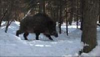 Основной инстинкт (2009) Сезон-1 Испытания лаек по медведю и кабану