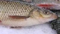 Трофеи Авалона Сезон-1 Белая рыба на опарыша и червя, зимняя рыбалка